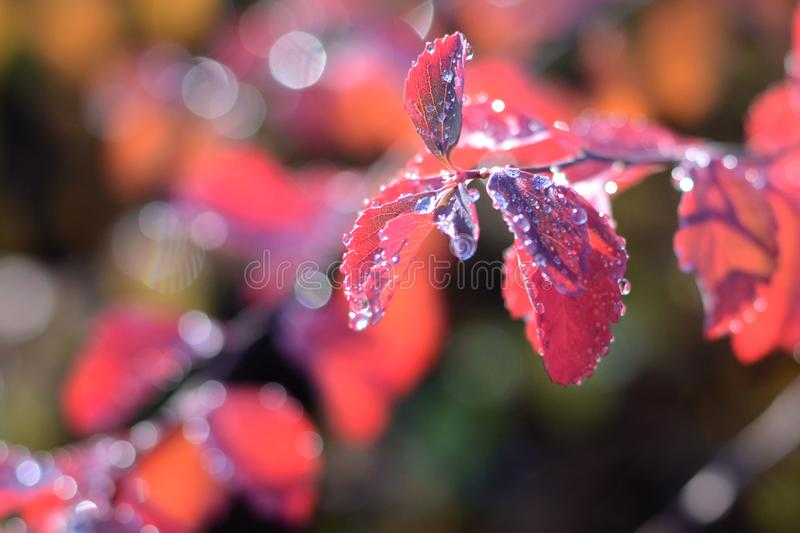 Abstract blurred autumn background of red leaves of barberry. Leaves with shining drops of dew. Soft focus, bokeh. Autumn garden stock image