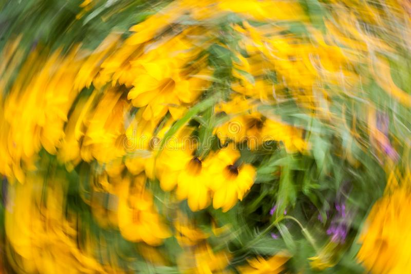Abstract blurred photo in motion of bright yellow Rudbeckia Fulgida cone flowers with dark brown capitula are blossoming in the stock images
