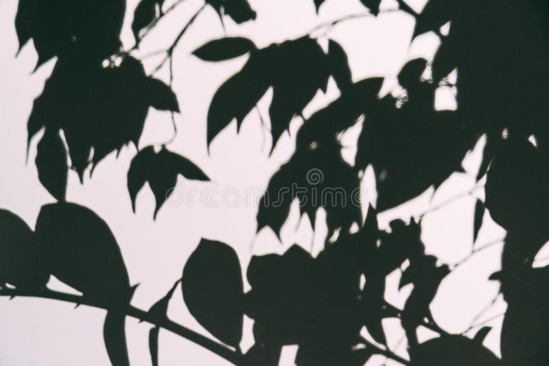 Abstract blurred shadow overlay effect on white wall of branch with leaves. Black and white mock up as wallpaper or background royalty free stock photos