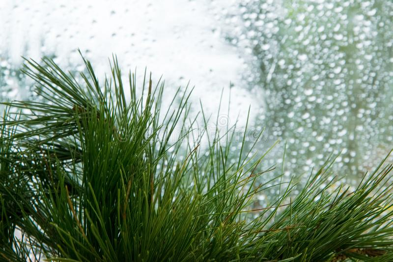 Abstract blurry winter background - evergreen pine branch against shiny wet window royalty free stock photos