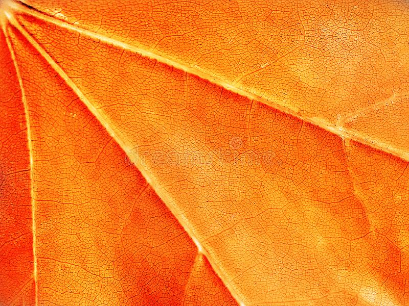 Red and orange background, maple leaf, macro, close-up. Abstract bright background, texture, maple leaf, macro, close-up stock photos