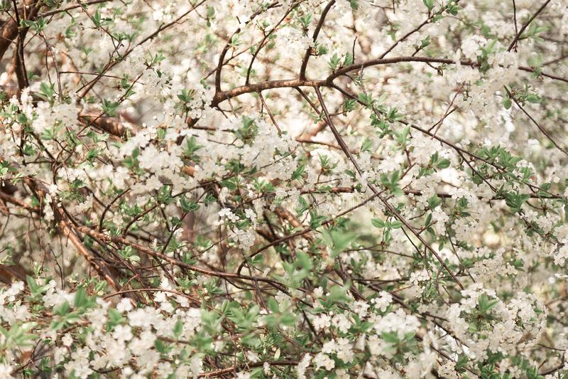 Abstract cherry blossom stock photography