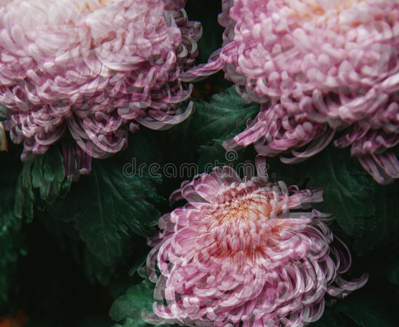 Abstract chrysanthemums royalty free stock image