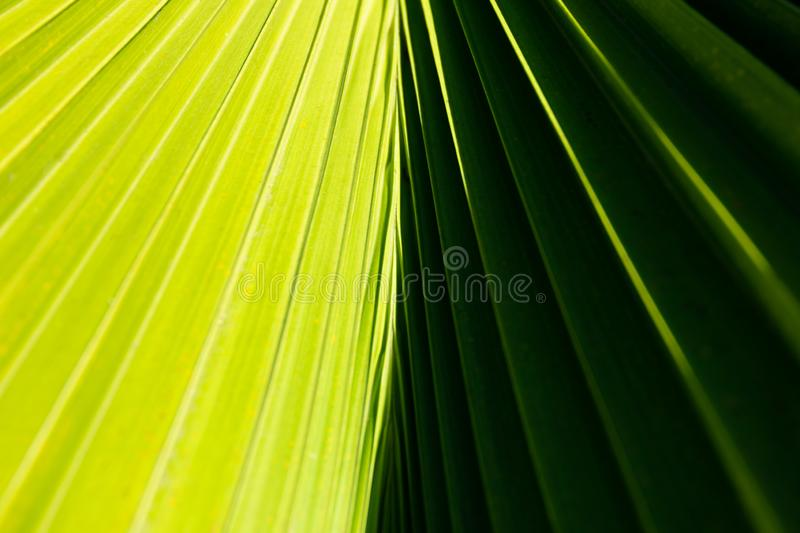 Abstract close up of a palm tree leaf with contrasting light and dark green sides and diagonal lines comming from the center stock photography