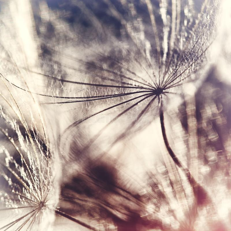 Seeds of Meadow Salsify royalty free stock photography