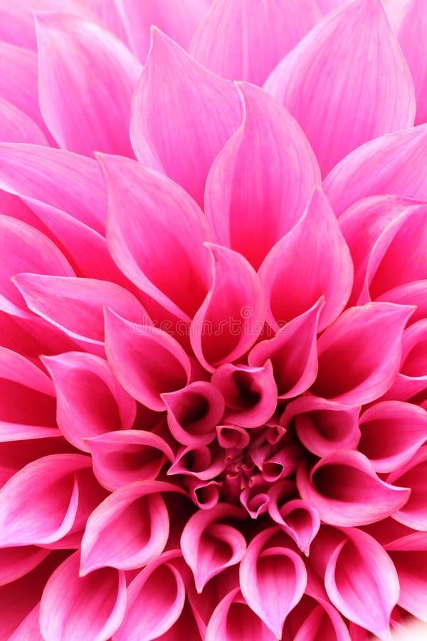 Abstract closeup of magenta dahlia flower with decorative petals