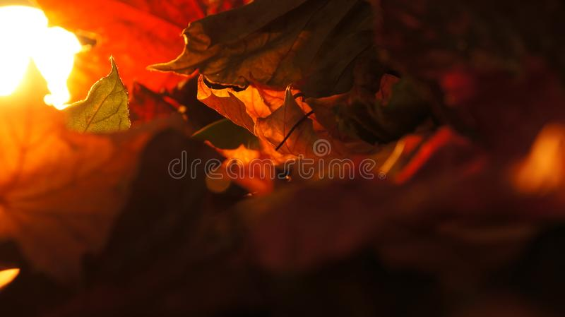 Abstract Closeup of Various Autumn Fall Leaves in Evening Light Background. Macro shot of various dry autumn leaves with a warm evening sunset light glow behind stock images