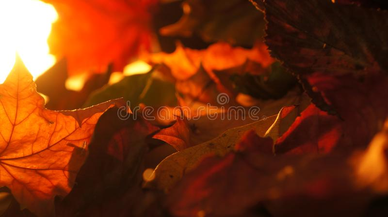 Abstract Closeup of Various Autumn Fall Leaves in Evening Light Background stock image