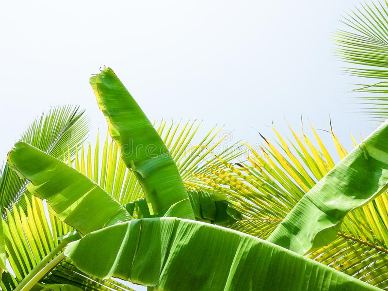 Abstract of coconut fronds and banana leaves royalty free stock photo