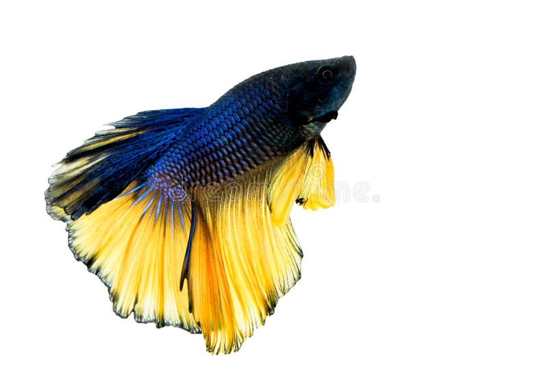 Abstract colorful Betta fish in thailand stock image
