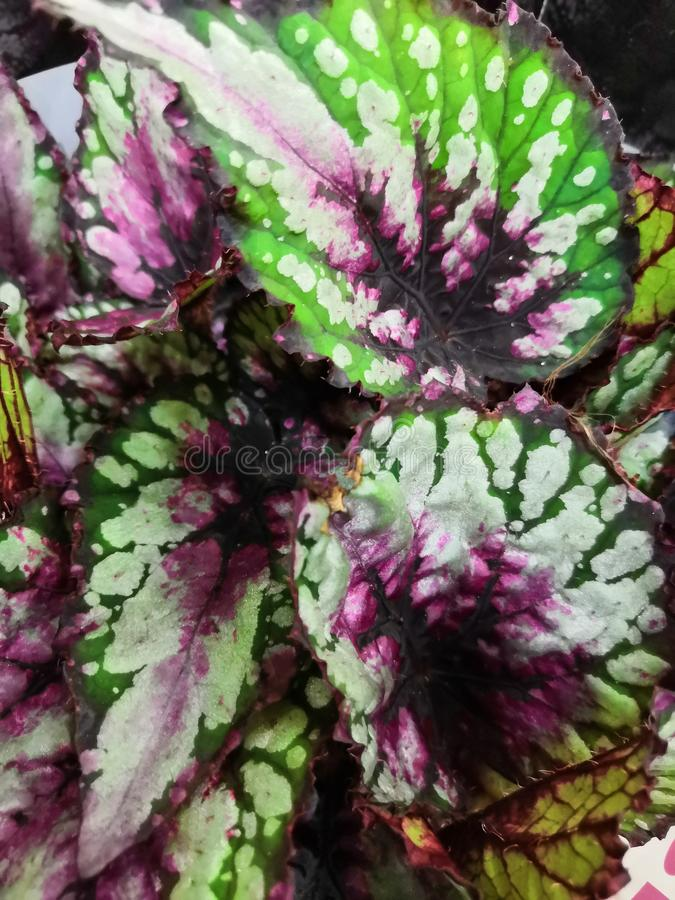 Abstract colorful blurred Rex Begonia Devil& x27;s Paradise leaves, leaves margins, texture background, selective focus stock photos