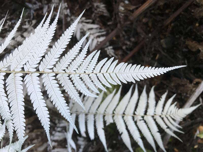 Closeup of white silver fern leaves against dark background royalty free stock photo