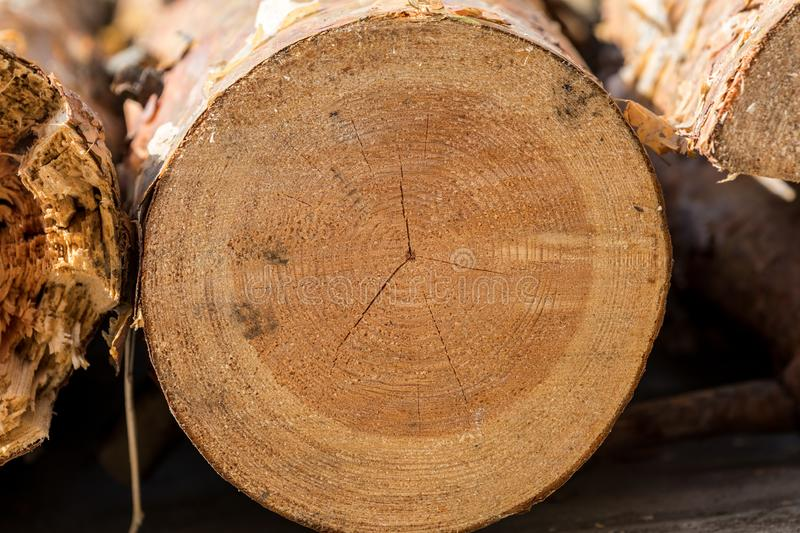 Abstract cross section of large cut Pine tree. Pinus - showing the growth rings, resin and bark in Sunny day, trunk, brown, nature, concentric, log, textured stock image