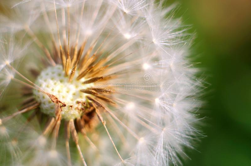 Abstract dandelion flower background, closeup with soft focus. White dandelion flower on a green background, closeup with soft focus royalty free stock photo