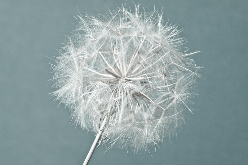 Abstract dandelion flower background, extreme closeup. Big dandelion stock photography