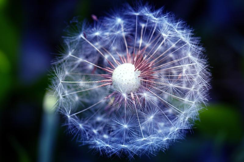 Abstract dandelion flower background extreme closeup stock image