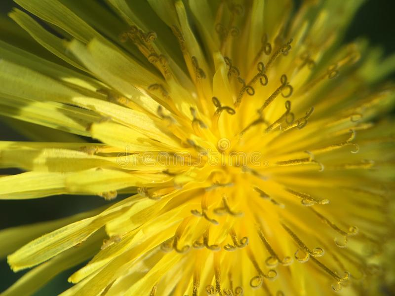 Abstract Dandelion Up Close and Yellow stock photography