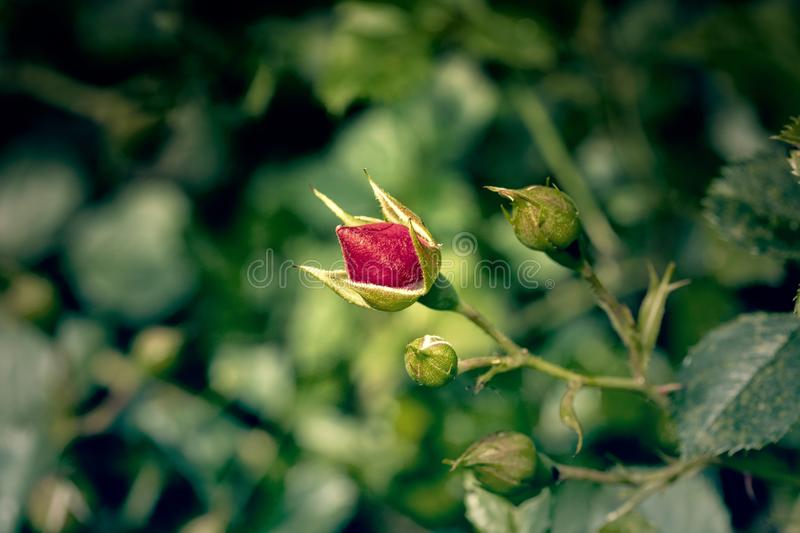 Red rose bud in the garden stock photos