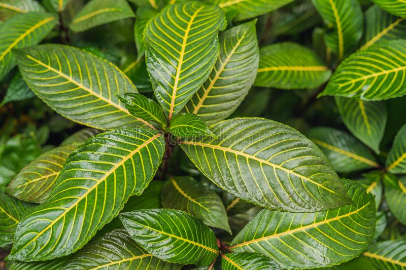 Abstract dark green of tropical plant and green leaf after rain drops in monsoon season royalty free stock image