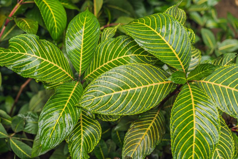 Abstract dark green of tropical plant and green leaf after rain drops in monsoon season royalty free stock images
