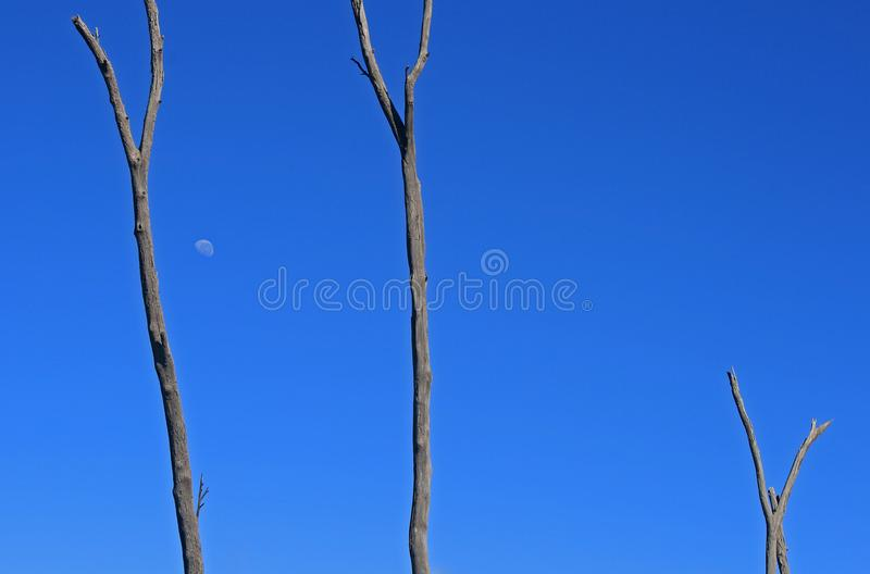 ABSTRACT DEAD TREES WITH MOON IN BLUE MORNING SKY royalty free stock photo