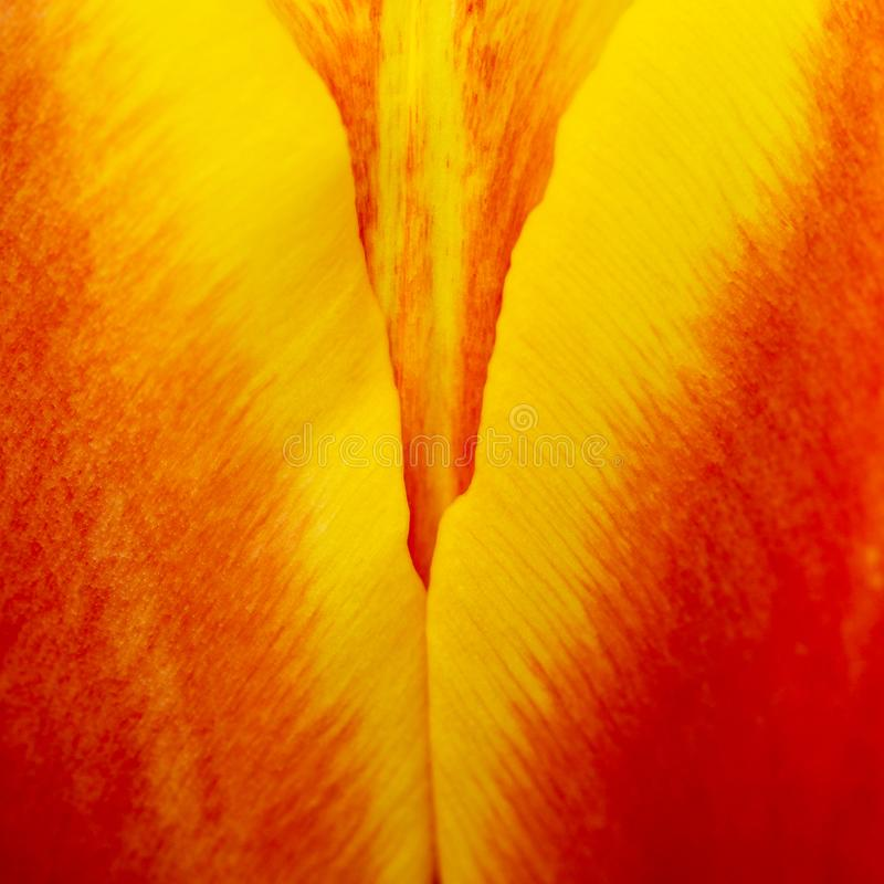Abstract details of red, yellow and orange tulip flower petals in V shape under high magnification close-up macro photo. With shallow depth of field. Square royalty free stock photography