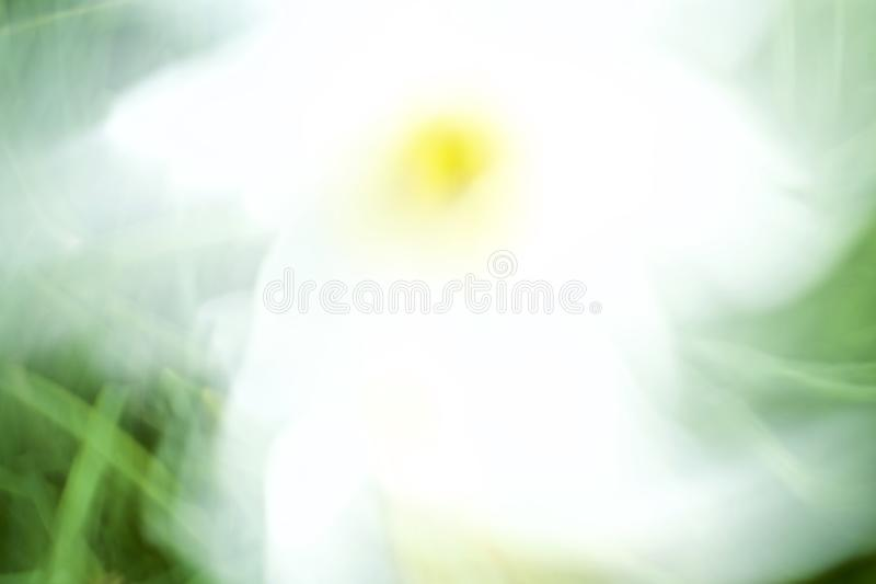 Abstract white  tulip flowers in a dreamlike colorful impressionist photo. Abstract dreamlike white  tulips flowers are calming and colorful and create a royalty free stock photography
