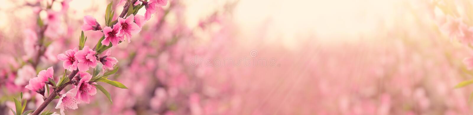 abstract and dreamy banner background of of spring blossoms tree with pink flowers. selective focus. royalty free stock photography