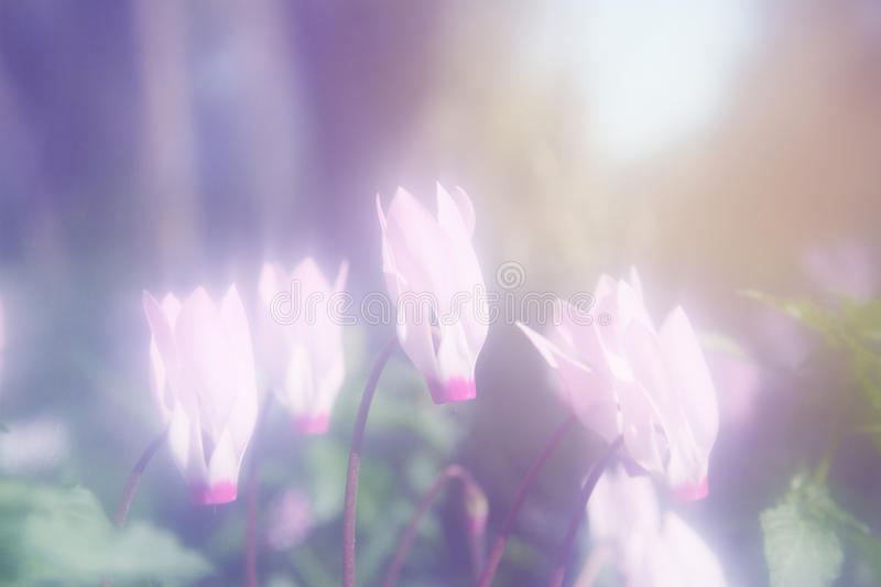 Abstract dreamy and blurred image of cyclamen flowers blooming in the forest. vintage filtered and toned stock images