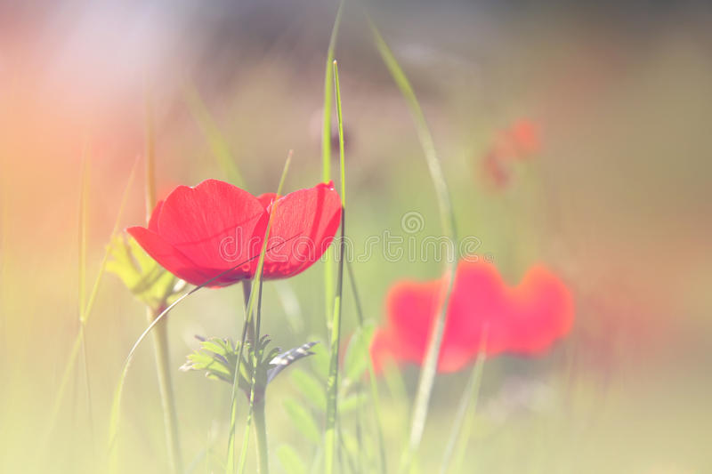 Abstract and dreamy photo with low angle of red poppies against sky with light burst. vintage filtered and toned royalty free stock photography
