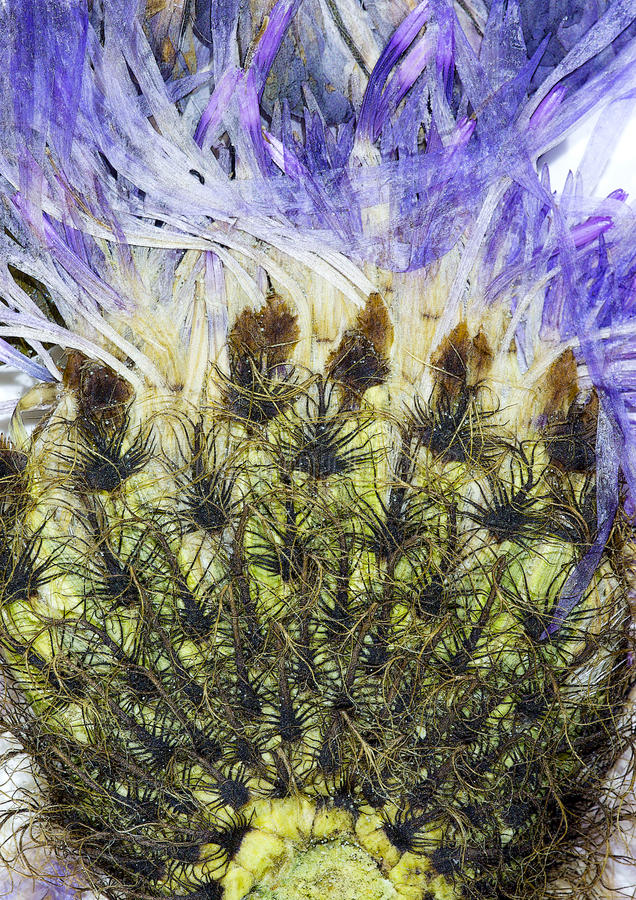 Abstract dried flower. Abstract from close up on dry pressed flower stock photography