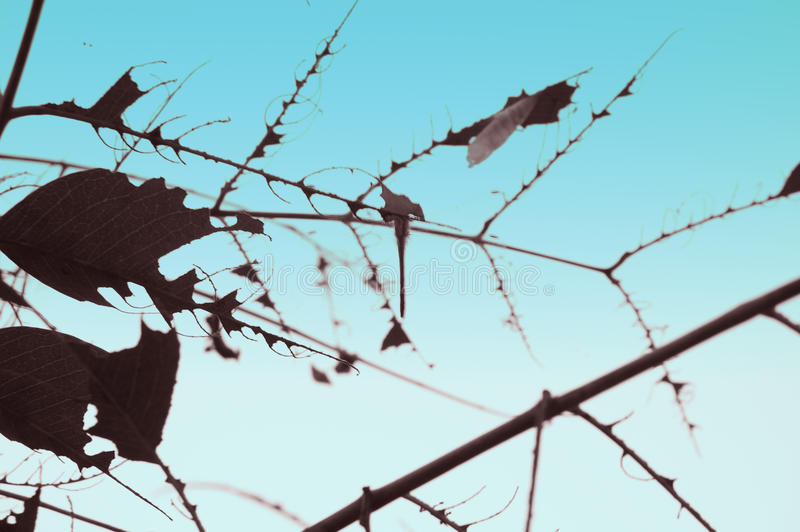 Abstract of dried leaves. A photo of abstract of dried leaves and blue sky background stock photography