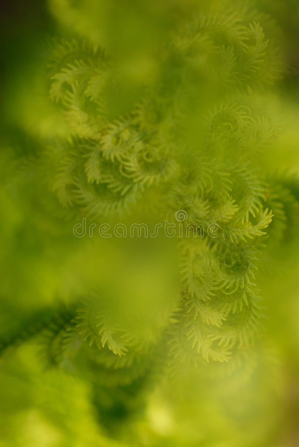 Abstract Fern Background. Abstract background composed of young curled fern fronds royalty free stock photos