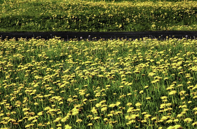 Dandelion field driveway royalty free stock photography
