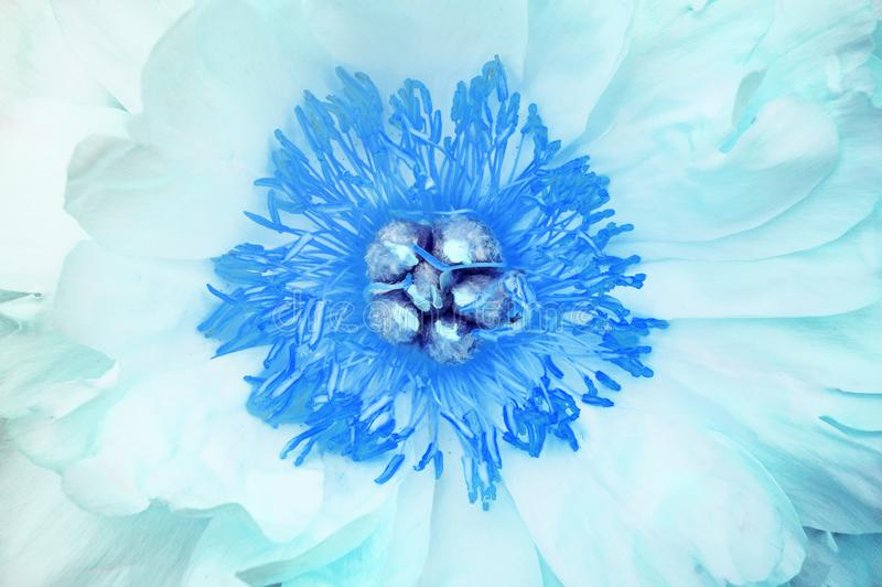 Abstract floral background from the heart of an open blue peony flower. Close-up, macro photography.  royalty free stock photos