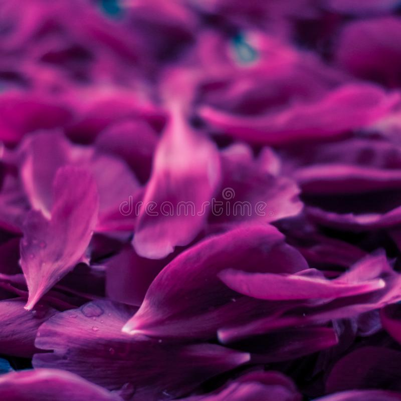Abstract floral background, purple flower petals in water. Beauty of nature, dream garden and wedding backdrop concept - Abstract floral background, purple royalty free stock photography