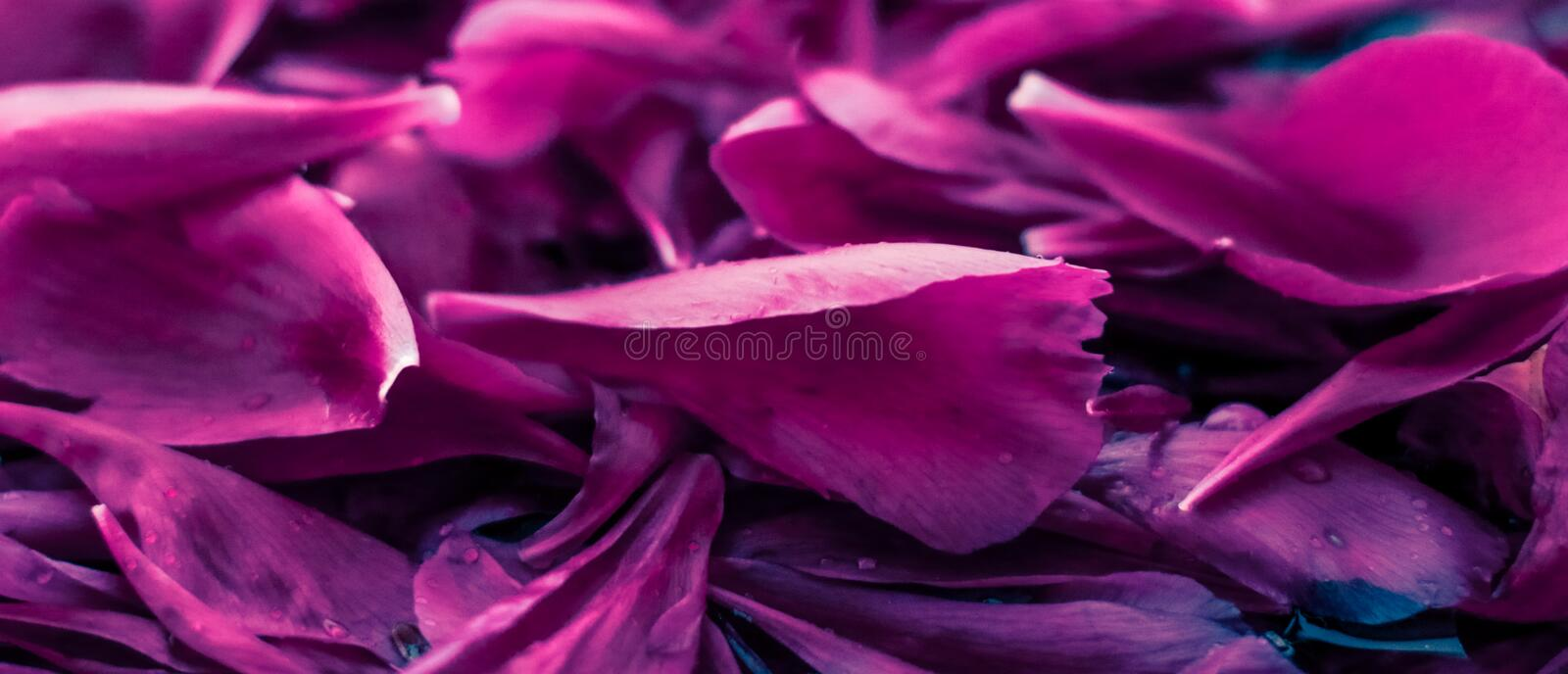 Abstract floral background, purple flower petals in water. Beauty of nature, dream garden and wedding backdrop concept - Abstract floral background, purple stock photos