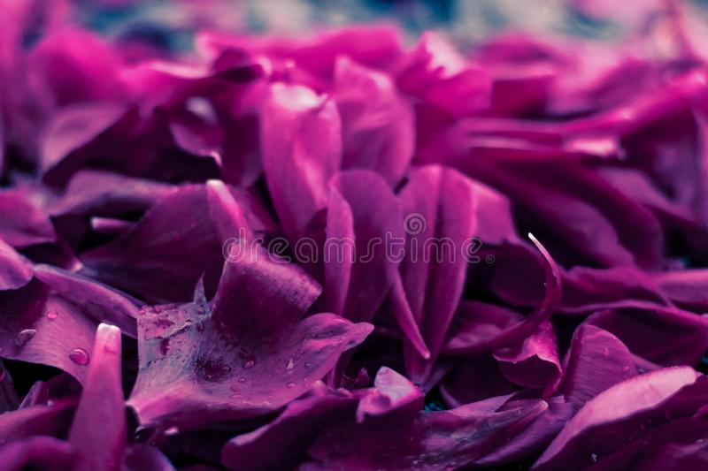Abstract floral background, purple flower petals in water. Beauty of nature, dream garden and wedding backdrop concept - Abstract floral background, purple stock images