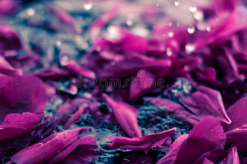 Abstract floral background, purple flower petals in water royalty free stock photo