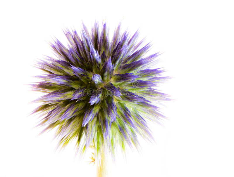 Abstract flower macro of a blue thistle. Echinops royalty free stock image