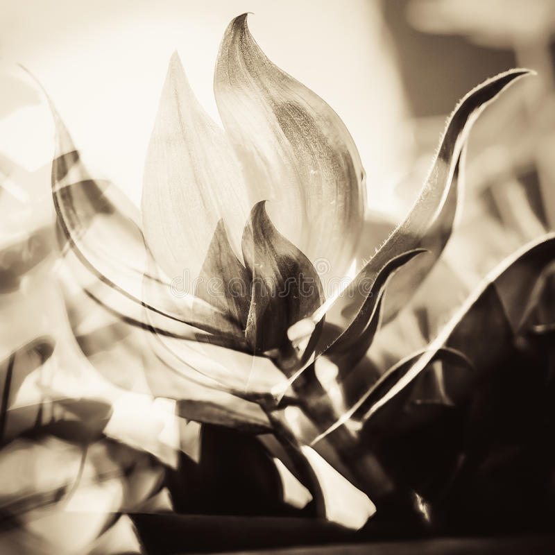 Abstract Flowers. Abstract double exposure flowers in brown duo-tone color royalty free stock image