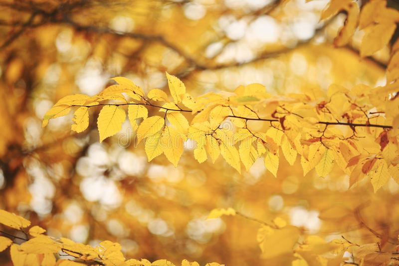 Abstract foliage background, beautiful tree branch in autumnal forest, orange dry maple leaves, autumn season stock images