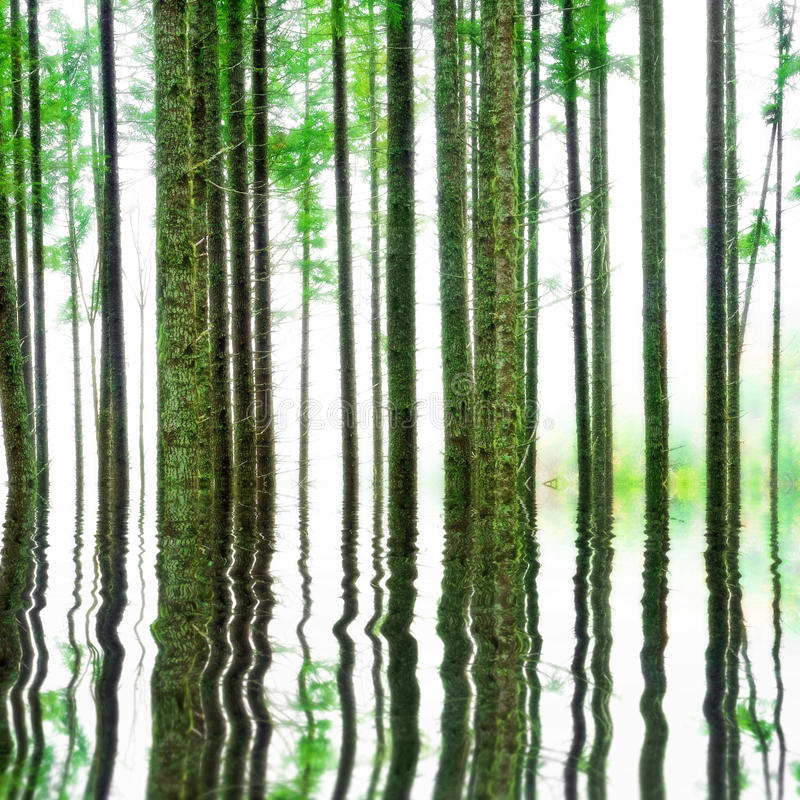 Abstract Forest with water. Abstract forest trees in the woods with white foggy mist and a water reflection below stock photo