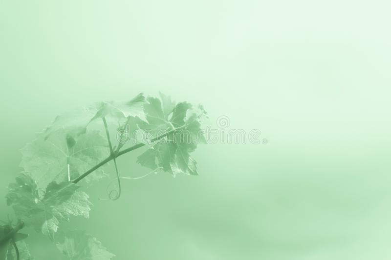 Abstract green background with branch of grapes stock images
