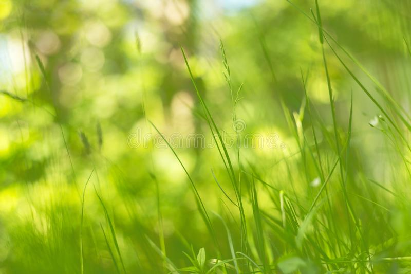 Abstract green blurred bokeh nature background, grass in the sunlight. Abstract green blurred bokeh nature background with spring and summer grass in the royalty free stock photo