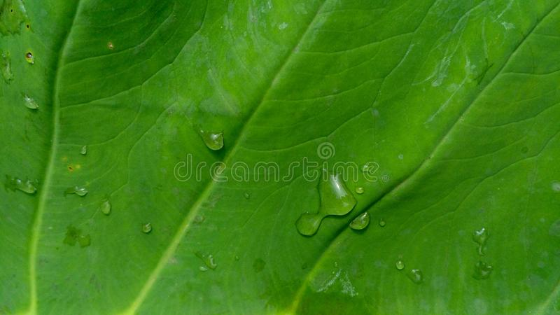 Rain drop on abstract green leaf background texture. Abstract green leaf background texture. Rain drop on leaf. Creative flat lay royalty free stock photography