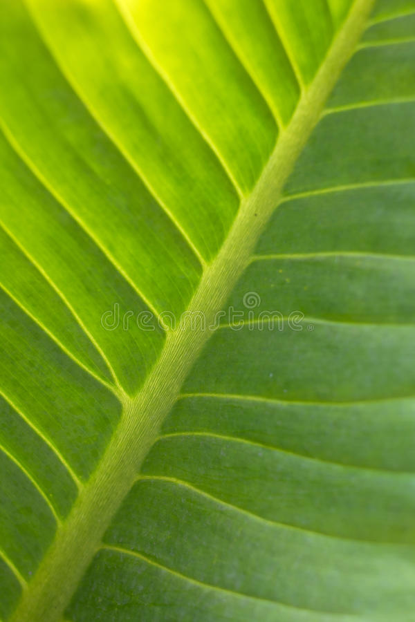 Abstract green leaf texture. For background royalty free stock image