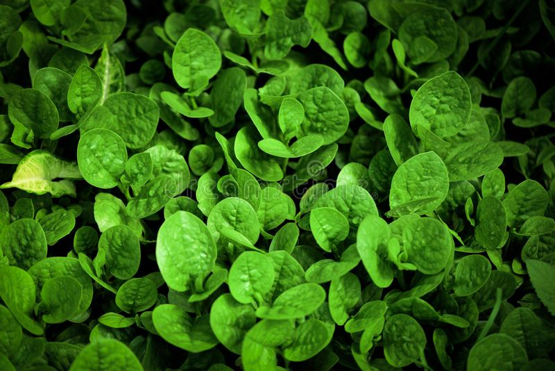 Abstract green leaves plant pattern  texture background - Leaf of small vegetable growing in the garden agriculture farming. Abstract green leaves plant pattern royalty free stock photography
