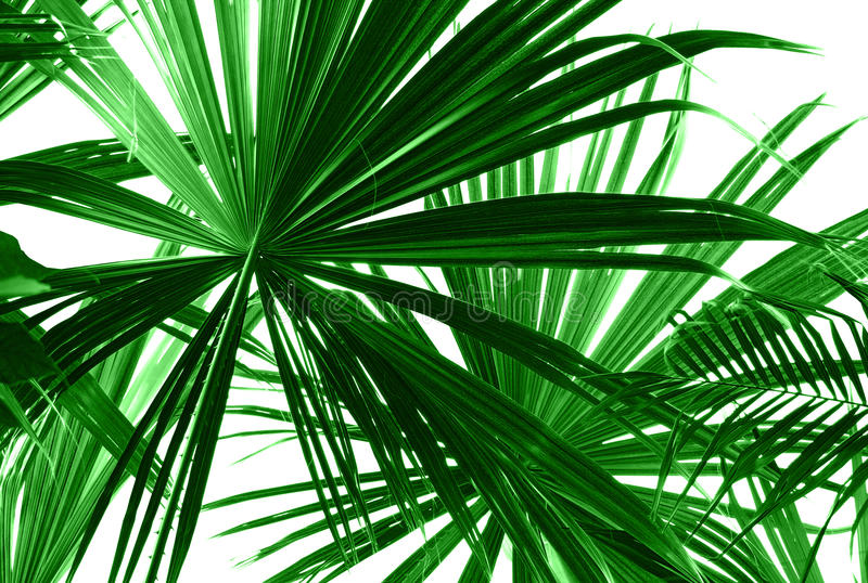 Abstract green palm leaves. On white closeup stock photography