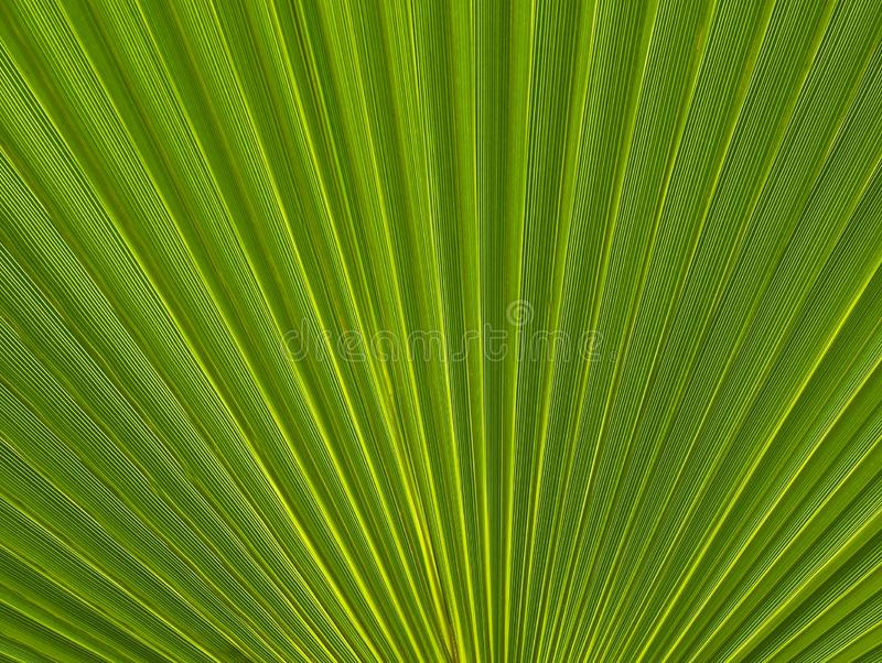Abstract green palm tree leaf texture close up.Bright tropical natural background with copy space for design. royalty free stock photo